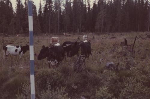 Gättning vid Jonas i skogen (Då kalhygge)